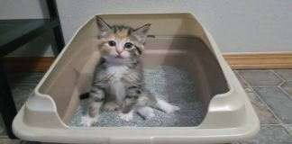 Kitten Learns Use Litter Box